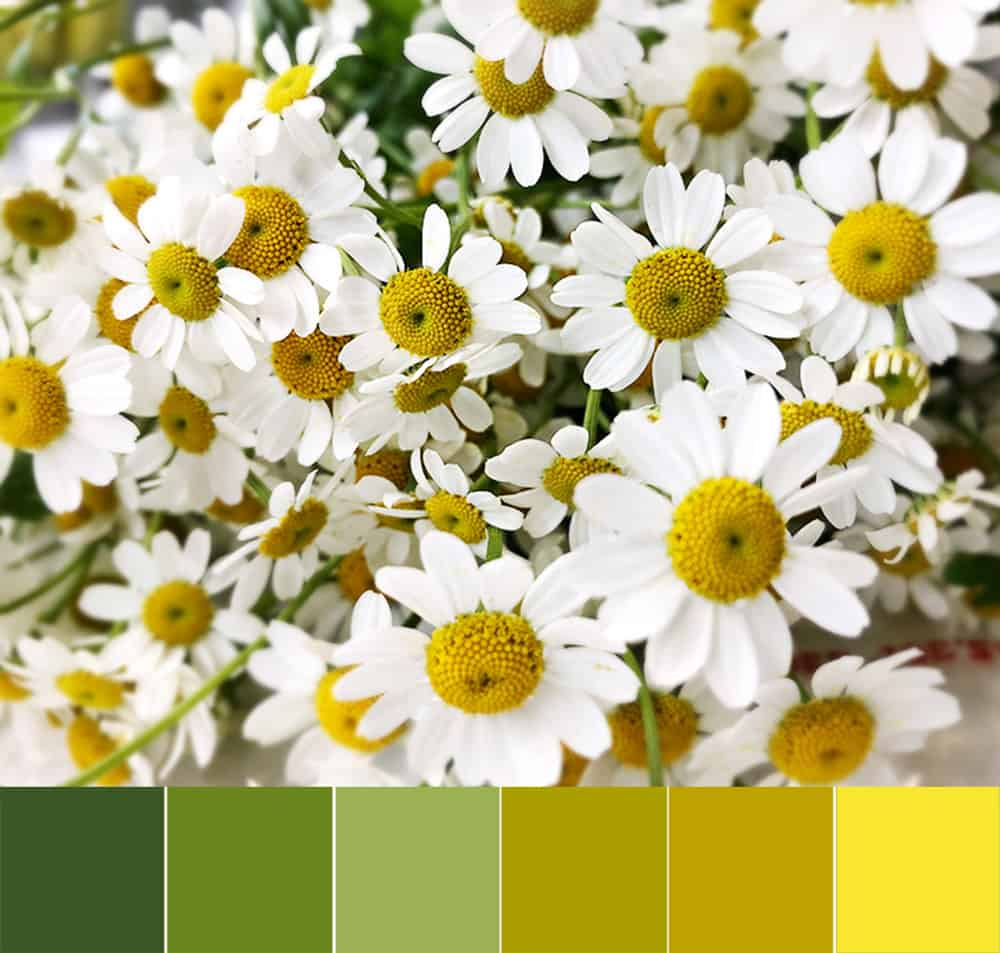 Need a little Camomile?  Here's a color palette to lift your spirits